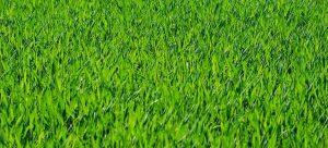 greeny grass