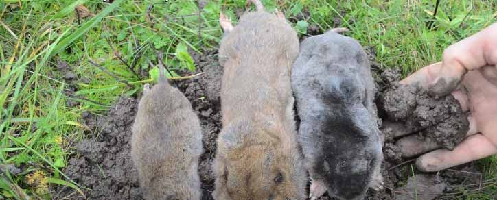 how to get rid of moles in the garden humanely