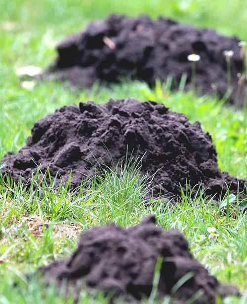 mole holes in yard