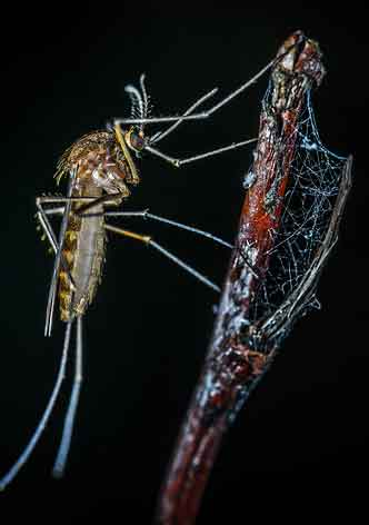 a deadly mosquito