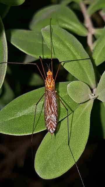 crane fly on outdoor