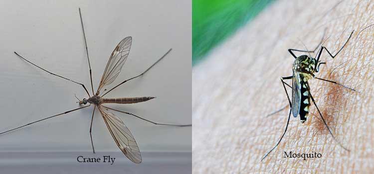 crane fly vs. mosquito