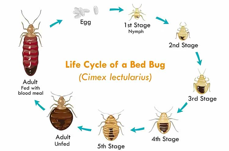 life cycle baby bed bugs