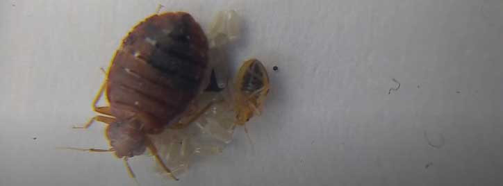 young and adult bed bug picture