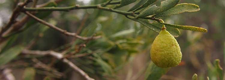 Australian Desert Lime