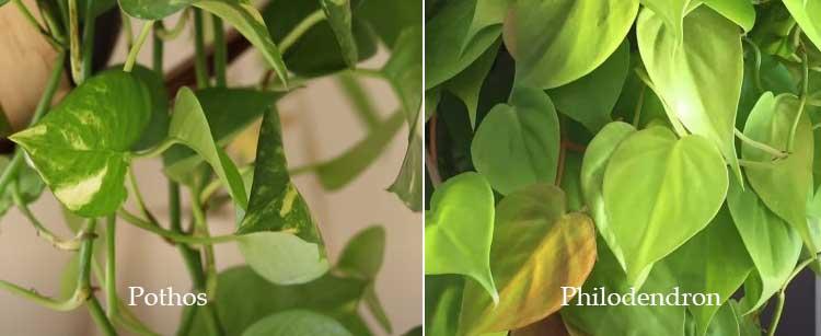 Pothos Vs. Philodendron