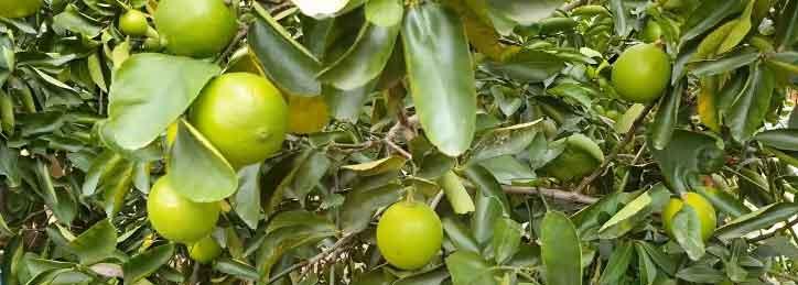 Tahiti Limes