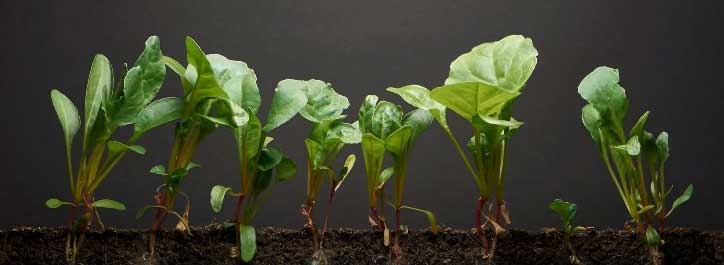 growing spinach indoors under lights