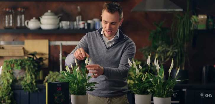 how to revive a wilted peace lily