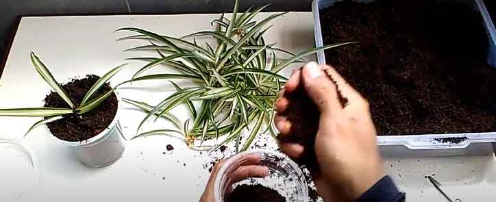 repotting spider plant babies