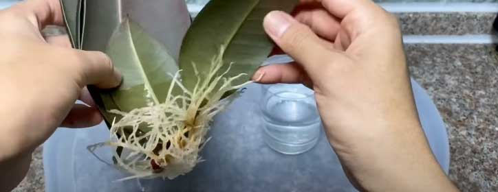 rubber tree propagation