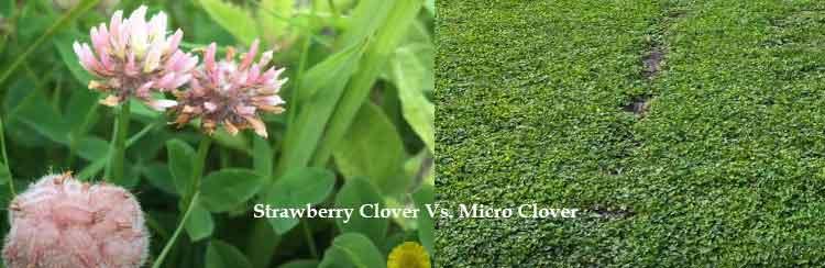 strawberry clover vs microclover