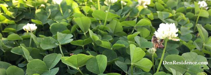 why do I have so much clover in my lawn