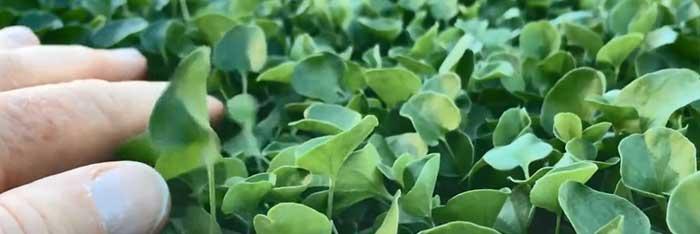 Dichondra lawn