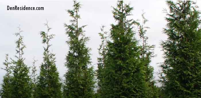 care for Thuja green giant