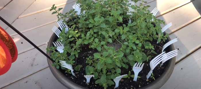 use spoon to protect flower pots from squirrel