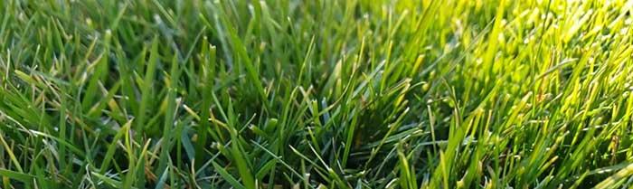 St. Augustine grass turning yellow