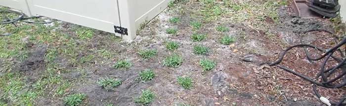 St. Augustine plugs for lawn