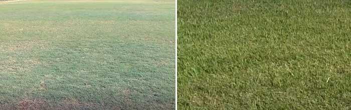 Celebration Bermuda grass vs. Tifway 419